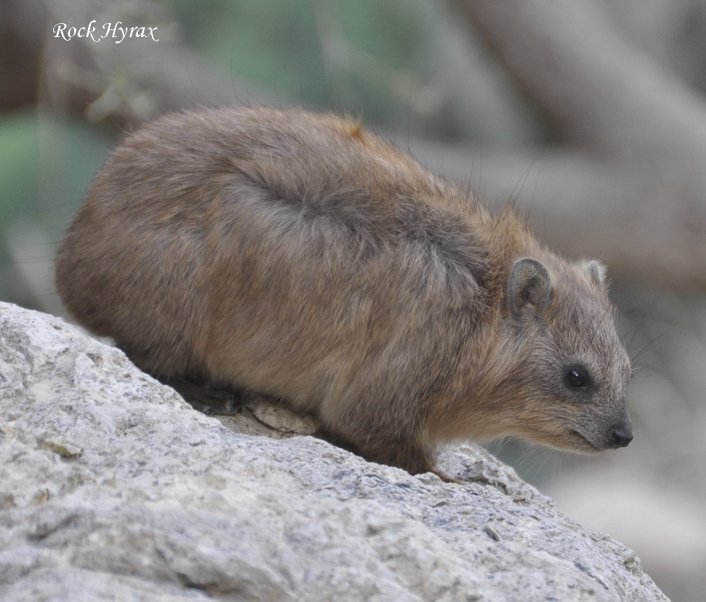 https://israel-tour-guide.com/wp-content/uploads/2015/10/Rock-Hyrax.jpg